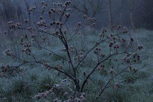 Rizinuspflanze im Winter