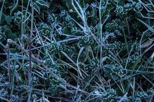 Frostumrandete Blätter