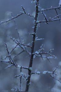 Dornenzweig mit Frostspuren
